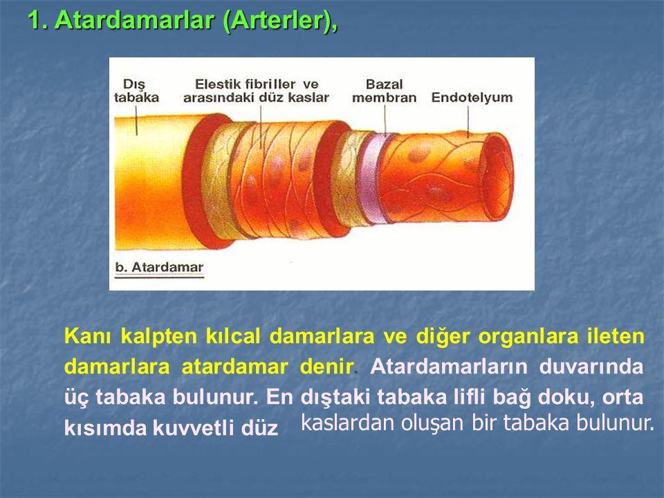 1. Atardamarlar (Arterler), Kanı kalpten kılcal damarlara ve diğer organlara ileten damarlara atardamar denir. Atardamarların duvarında üç tabaka bulu