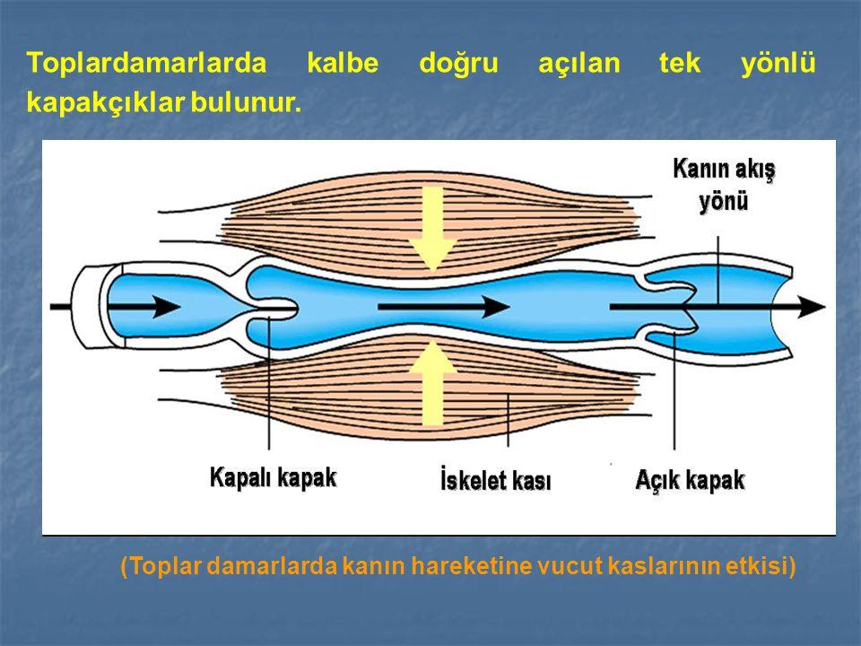 Toplardamarlarda kalbe doğru açılan tek yönlü kapakçıklar bulunur. (Toplar damarlarda kanın hareketine vucut kaslarının etkisi)