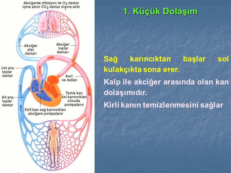1. Küçük Dolaşım Sağ karıncıktan başlar sol kulakçıkta sona erer. Kalp ile akciğer arasında olan kan dolaşımıdır. Kirli kanın temizlenmesini sağlar