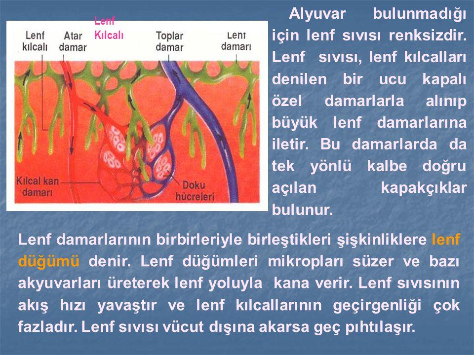 Lenf Kılcalı Alyuvar bulunmadığı için lenf sıvısı renksizdir. Lenf sıvısı, lenf kılcalları denilen bir ucu kapalı özel damarlarla alınıp büyük lenf da