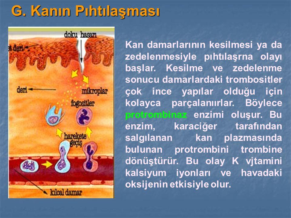 G. Kanın Pıhtılaşması Kan damarlarının kesilmesi ya da zedelenmesiyle pıhtılaşrna olayı başlar. Kesilme ve zedelenme sonucu damarlardaki trombositler