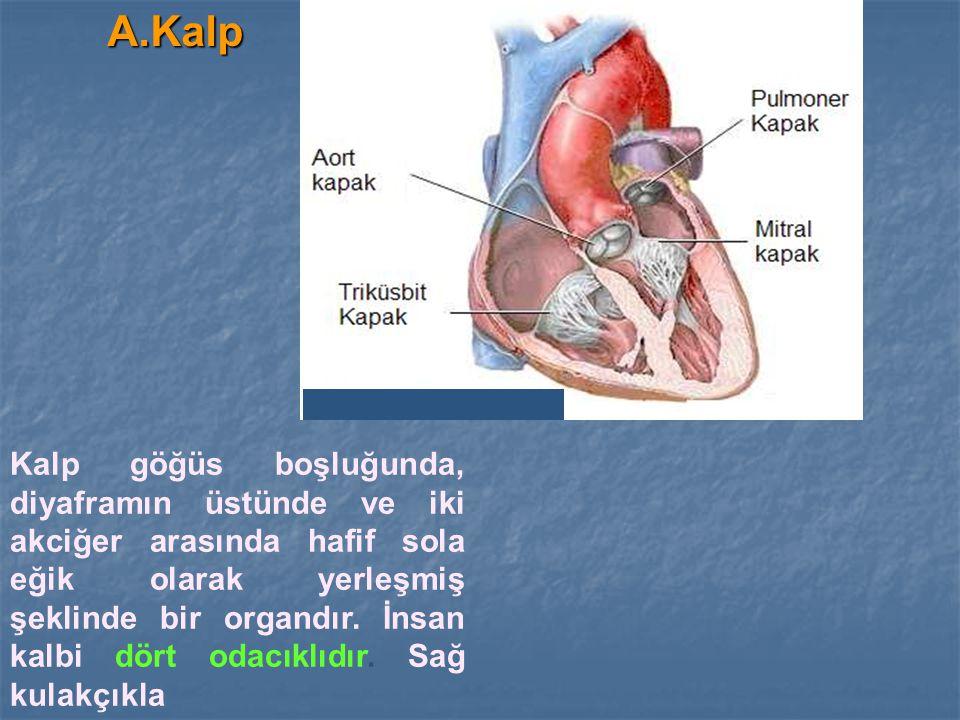 A.Kalp Kalp göğüs boşluğunda, diyaframın üstünde ve iki akciğer arasında hafif sola eğik olarak yerleşmiş şeklinde bir organdır. İnsan kalbi dört odac