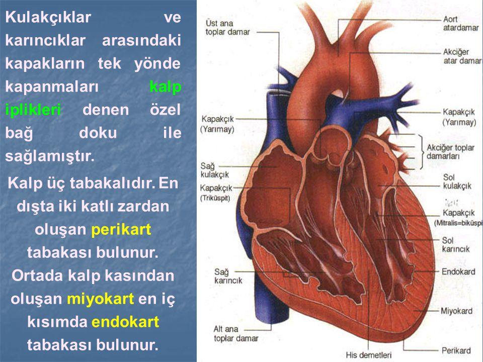 Kulakçıklar ve karıncıklar arasındaki kapakların tek yönde kapanmaları kalp iplikleri denen özel bağ doku ile sağlamıştır. Kalp üç tabakalıdır. En dış