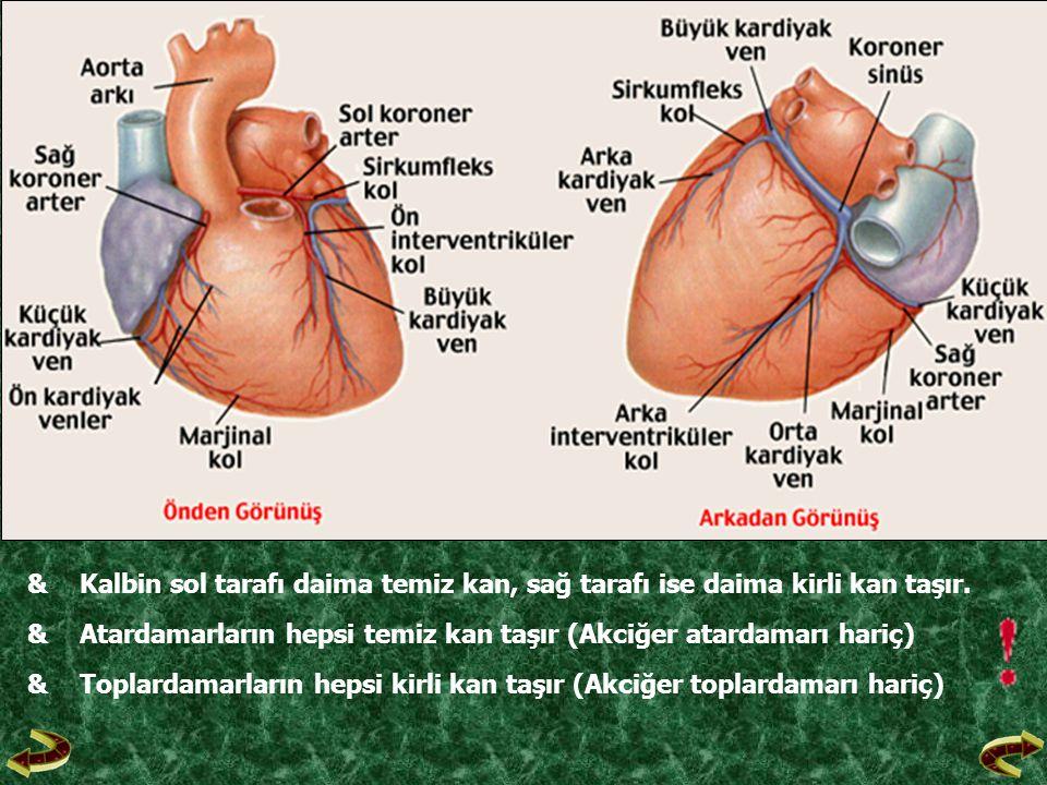 &Kalbin sol tarafı daima temiz kan, sağ tarafı ise daima kirli kan taşır. &Atardamarların hepsi temiz kan taşır (Akciğer atardamarı hariç) &Toplardama