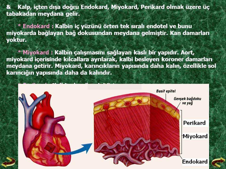 &Kalp, içten dışa doğru Endokard, Miyokard, Perikard olmak üzere üç tabakadan meydana gelir. * Endokard : Kalbin iç yüzünü örten tek sıralı endotel ve