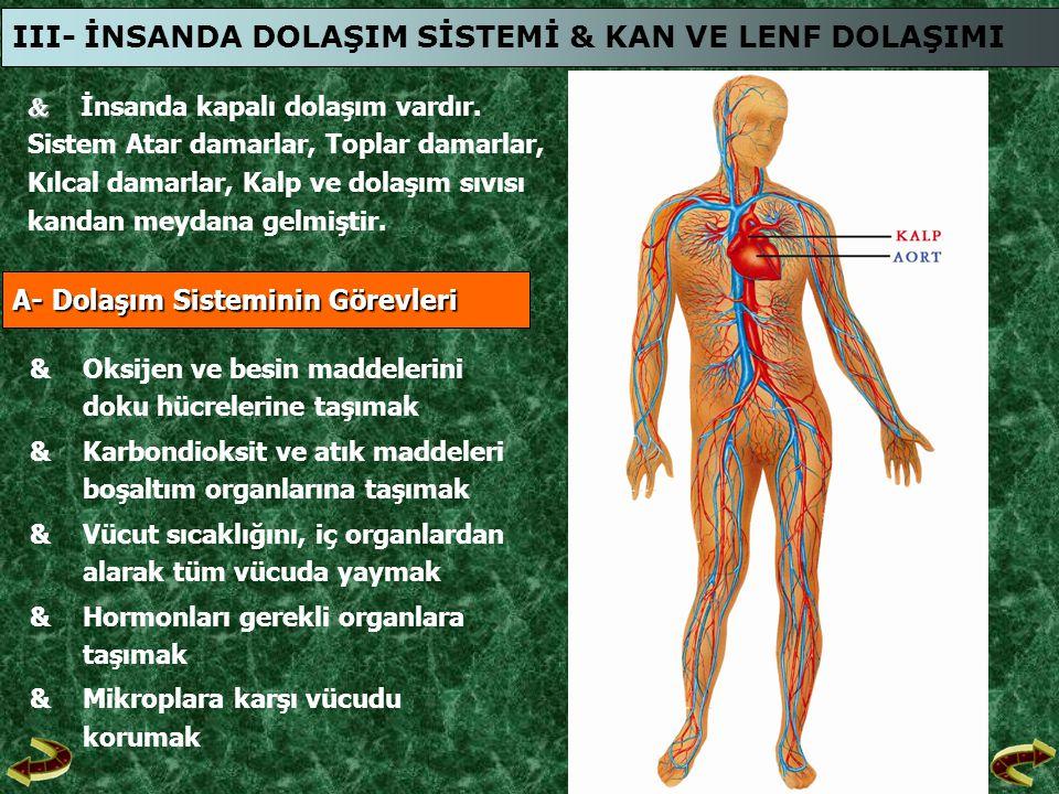   İnsanda kapalı dolaşım vardır. Sistem Atar damarlar, Toplar damarlar, Kılcal damarlar, Kalp ve dolaşım sıvısı kandan meydana gelmiştir. III- İNSAN