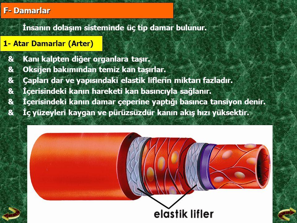 F- Damarlar F- Damarlar İnsanın dolaşım sisteminde üç tip damar bulunur. 1- Atar Damarlar (Arter) &Kanı kalpten diğer organlara taşır. &Oksijen bakımı