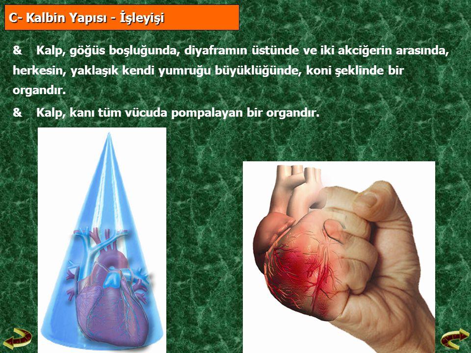 C- Kalbin Yapısı - İşleyişi C- Kalbin Yapısı - İşleyişi &Kalp, göğüs boşluğunda, diyaframın üstünde ve iki akciğerin arasında, herkesin, yaklaşık kend