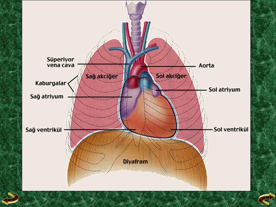 &Kalp, üstte iki kulakçık (atrium), altta iki karıncık (ventrikulus) olmak üzere dört bölmelidir.