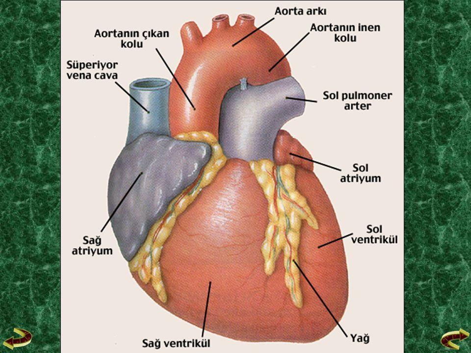 G- Büyük ve Küçük Kan Dolaşımları G- Büyük ve Küçük Kan Dolaşımları Kalpteki temiz kanın tüm vücudu dolaştıktan sonra, kirlenen kanın tekrar kalbe geri dönmesidir.
