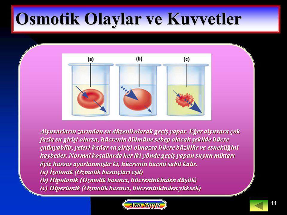 11 Osmotik Olaylar ve Kuvvetler Alyuvarların zarından su düzenli olarak geçiş yapar. Eğer alyuvara çok fazla su girişi olursa, hücrenin ölümüne sebep