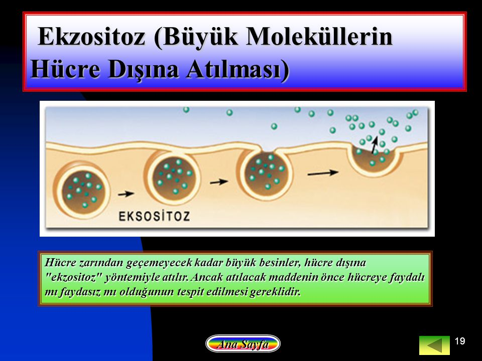 19 Ekzositoz (Büyük Moleküllerin Hücre Dışına Atılması) Ekzositoz (Büyük Moleküllerin Hücre Dışına Atılması) Ekzositoz (Büyük Moleküllerin Hücre Dışın