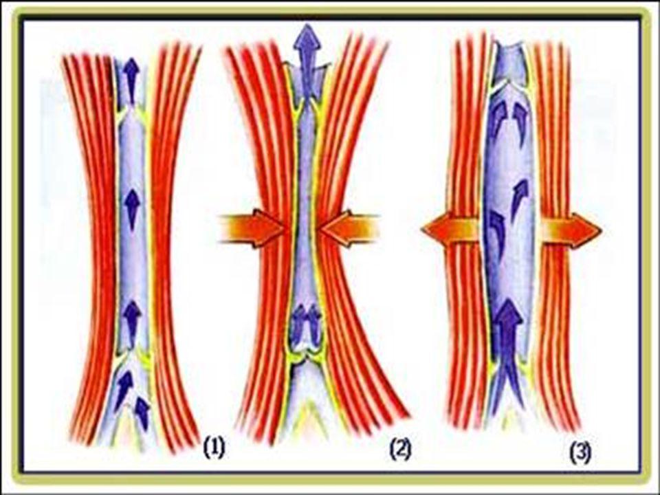 TOPLARDAMARLAR Vücuttan toplanan kanı kalbin kulakçığına getiren damarlardır. Akciğer toplardamarı, alt ve üst ana toplardamarları kalbe bağlanan topl