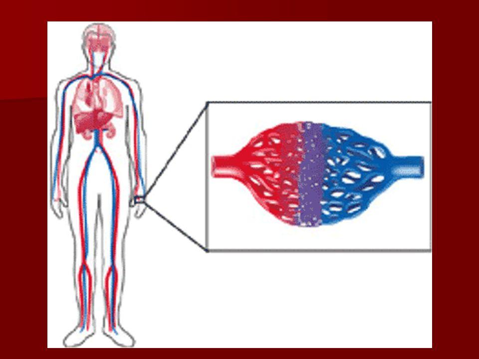 Kılcal damarlar: Atardamarlarla toplardamarları birbirine bağlayan tek sıralı epitel hücrelerinden yapılmış küçük yarıçaplı damarlardır.