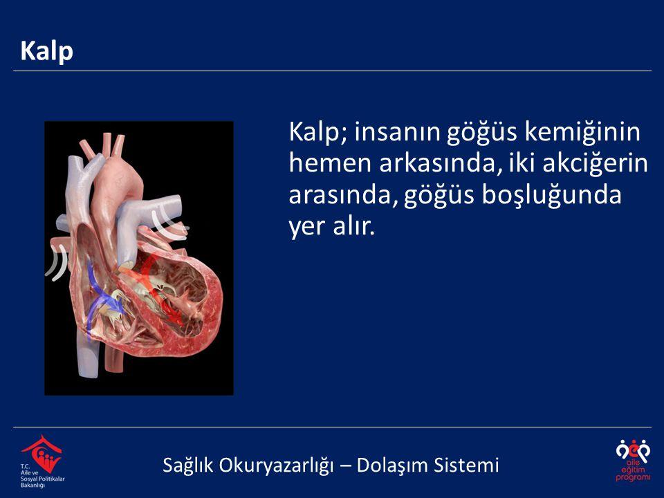 Kalp Sağlık Okuryazarlığı – Dolaşım Sistemi Kalp; insanın göğüs kemiğinin hemen arkasında, iki akciğerin arasında, göğüs boşluğunda yer alır.