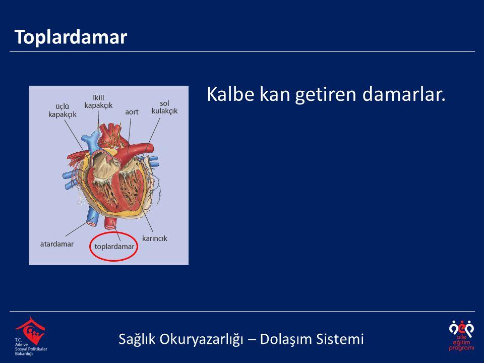 Toplardamar Sağlık Okuryazarlığı – Dolaşım Sistemi Kalbe kan getiren damarlar.