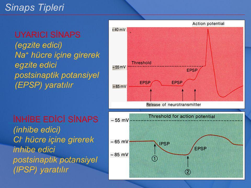 Sinaps Tipleri UYARICI SİNAPS (egzite edici) Na + hücre içine girerek egzite edici postsinaptik potansiyel (EPSP) yaratılır İNHİBE EDİCİ SİNAPS (inhib