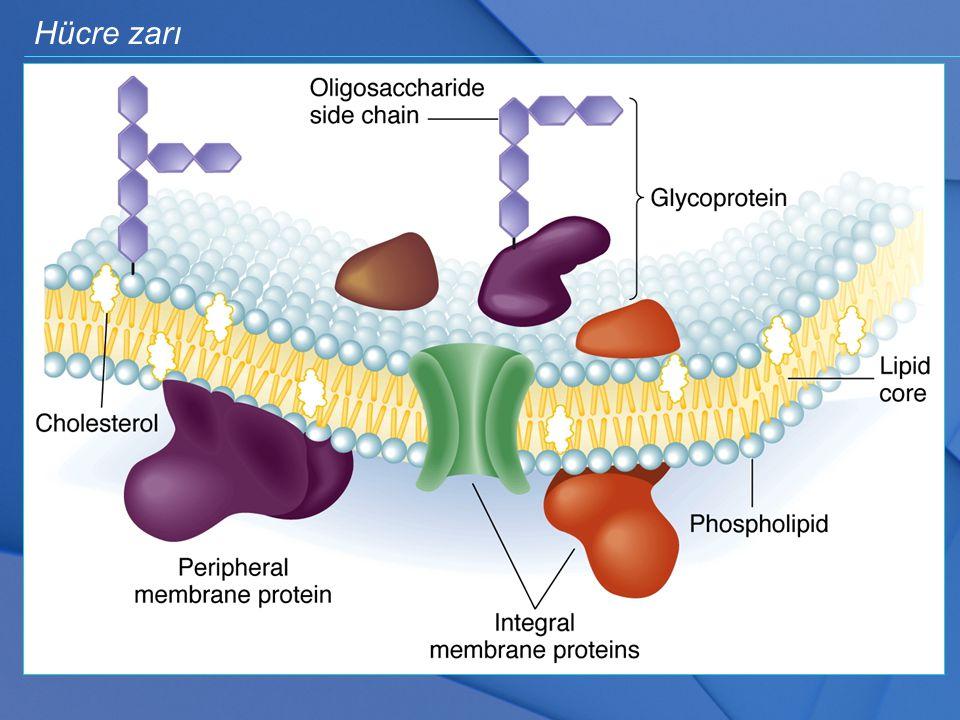 Hücre zarı Akciğerlerin ilkel yapısını ilk olarak kemikli balıklarda görüyoruz.