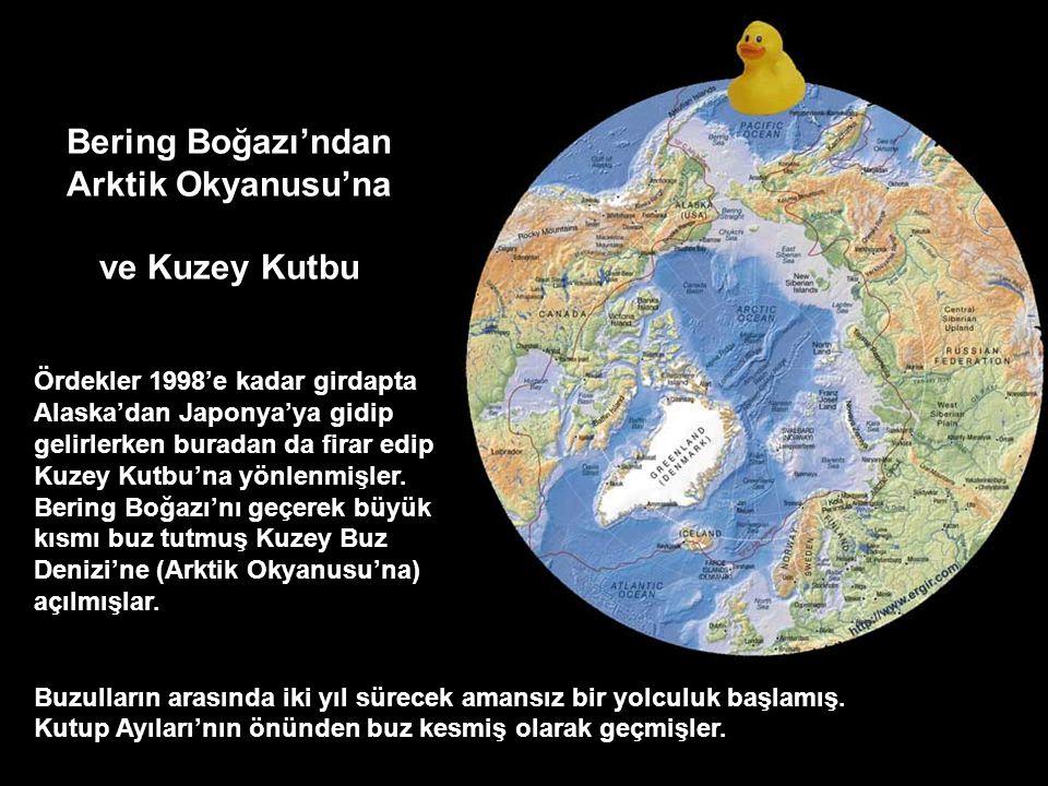 Bir kısmı da 6 senede 1 tur tamamlayarak, Japonya Amerika arasında yıllarca dönüp duracakları Subtropikal Büyük Pasifik Girdabı'nda yüzmeye başlamışla