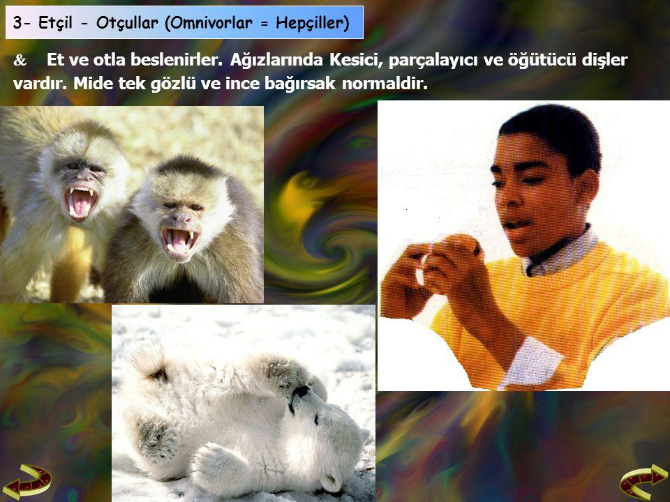 3- Etçil - Otçullar (Omnivorlar = Hepçiller)  Et ve otla beslenirler.