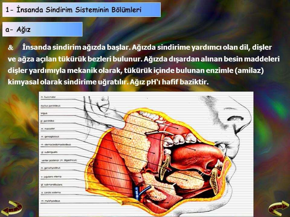 1- İnsanda Sindirim Sisteminin Bölümleri   İnsanda sindirim ağızda başlar.