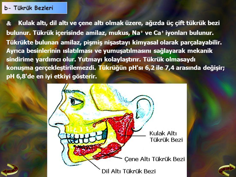   Kulak altı, dil altı ve çene altı olmak üzere, ağızda üç çift tükrük bezi bulunur.