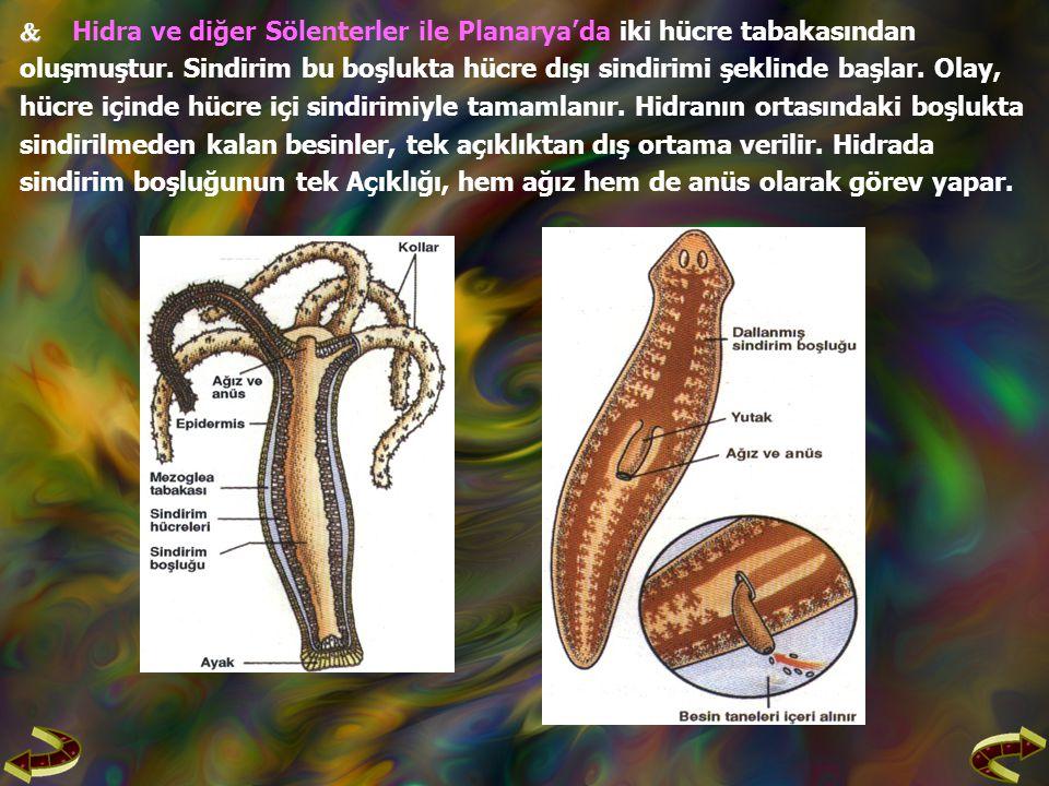   Hidra ve diğer Sölenterler ile Planarya'da iki hücre tabakasından oluşmuştur.