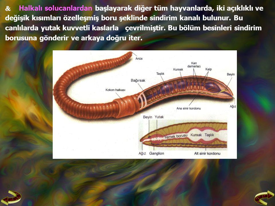   Halkalı solucanlardan başlayarak diğer tüm hayvanlarda, iki açıklıklı ve değişik kısımları özelleşmiş boru şeklinde sindirim kanalı bulunur.