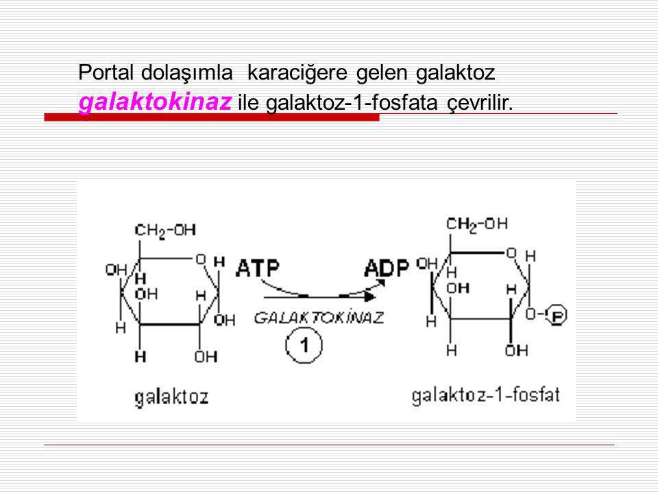 Portal dolaşımla karaciğere gelen galaktoz galaktokinaz ile galaktoz-1-fosfata çevrilir.