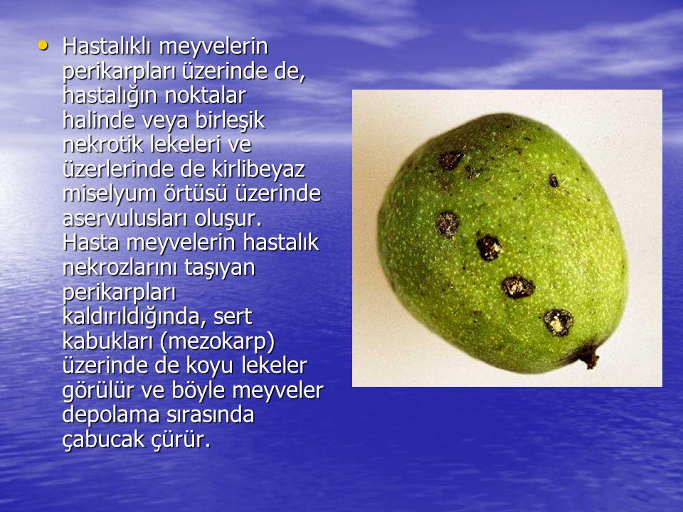 Hastalıklı meyvelerin perikarpları üzerinde de, hastalığın noktalar halinde veya birleşik nekrotik lekeleri ve üzerlerinde de kirlibeyaz miselyum örtü