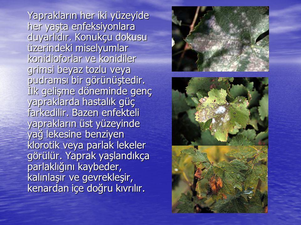 Yaprakların her iki yüzeyide her yaşta enfeksiyonlara duyarlıdır. Konukçu dokusu üzerindeki miselyumlar konidioforlar ve konidiler grimsi beyaz tozlu