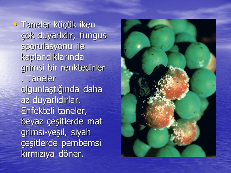 Taneler küçük iken çok duyarlıdır, fungus sporulasyonu ile kaplandıklarında grimsi bir renktedirler. Taneler olgunlaştığında daha az duyarlıdırlar. En