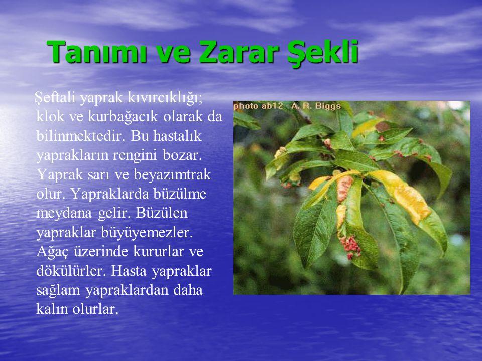 Tanımı ve Zarar Şekli Şeftali yaprak kıvırcıklığı; klok ve kurbağacık olarak da bilinmektedir. Bu hastalık yaprakların rengini bozar. Yaprak sarı ve b