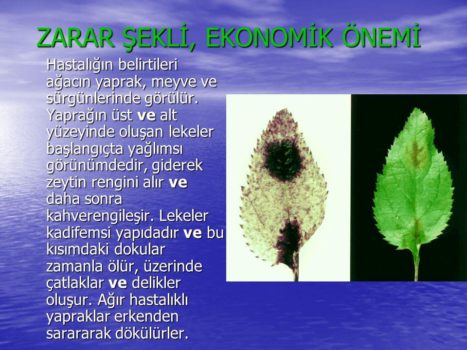 ZARAR ŞEKLİ, EKONOMİK ÖNEMİ ZARAR ŞEKLİ, EKONOMİK ÖNEMİ Hastalığın belirtileri ağacın yaprak, meyve ve sürgünlerinde görülür. Yaprağın üst ve alt yüze
