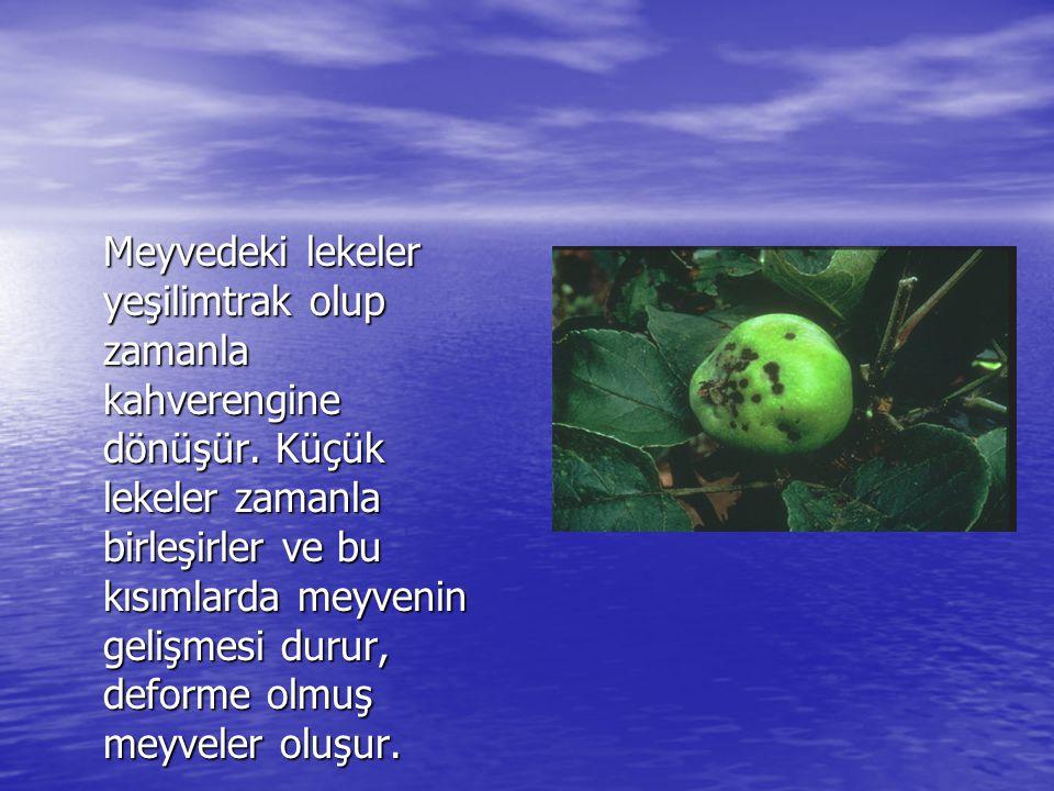 Meyvedeki lekeler yeşilimtrak olup zamanla kahverengine dönüşür. Küçük lekeler zamanla birleşirler ve bu kısımlarda meyvenin gelişmesi durur, deforme