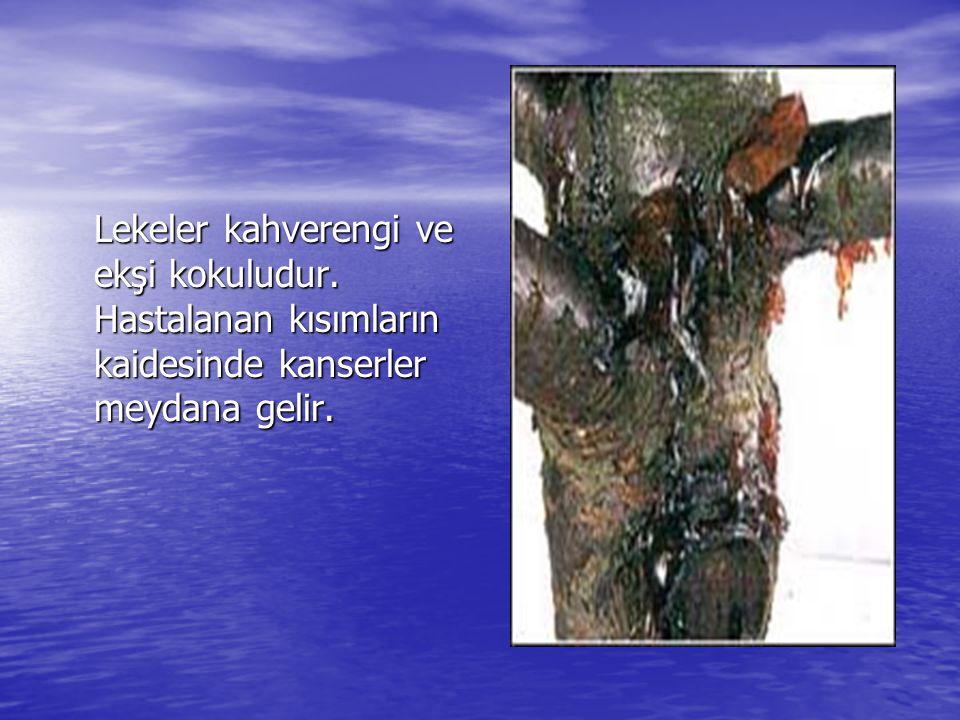 Lekeler kahverengi ve ekşi kokuludur. Hastalanan kısımların kaidesinde kanserler meydana gelir.