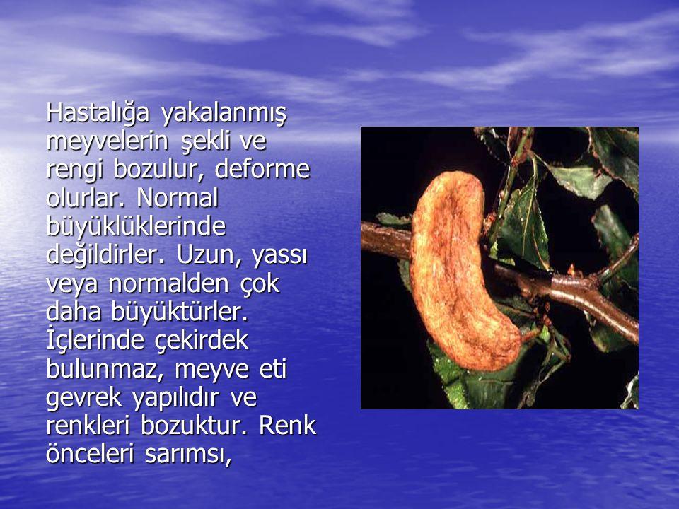 Hastalığa yakalanmış meyvelerin şekli ve rengi bozulur, deforme olurlar. Normal büyüklüklerinde değildirler. Uzun, yassı veya normalden çok daha büyük