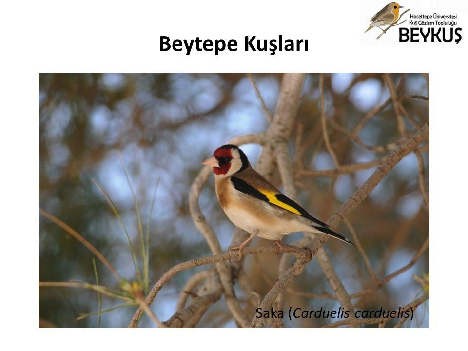 Beytepe Kuşları Saka (Carduelis carduelis)