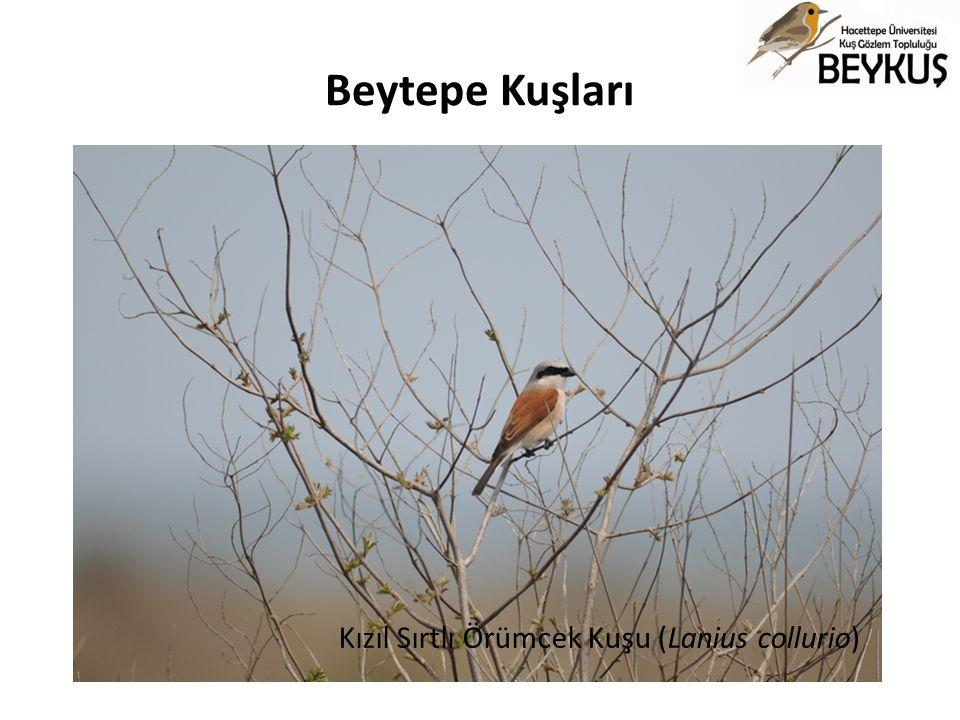 Beytepe Kuşları Kızıl Sırtlı Örümcek Kuşu (Lanius collurio)