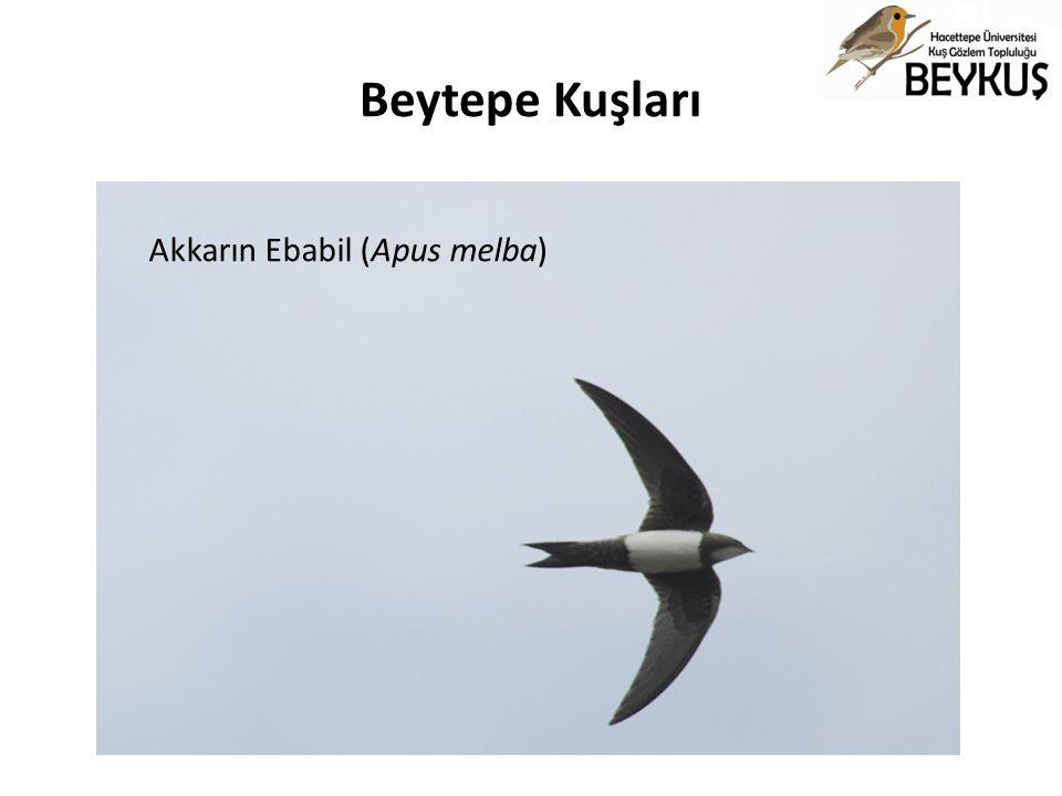 Beytepe Kuşları Akkarın Ebabil (Apus melba)