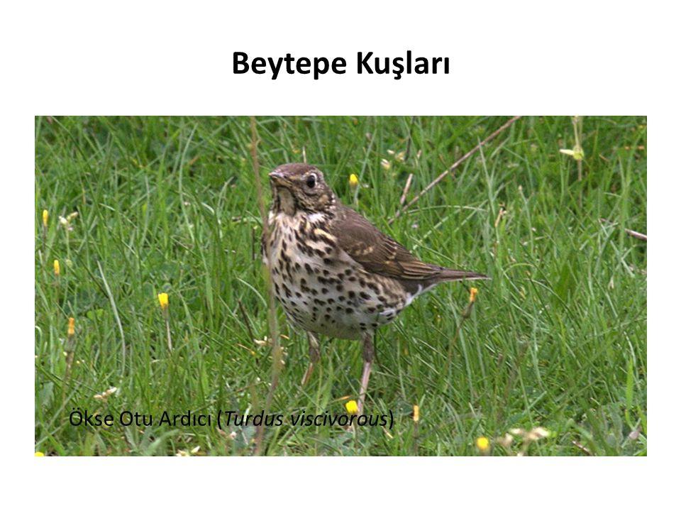 Beytepe Kuşları Ökse Otu Ardıcı (Turdus viscivorous)