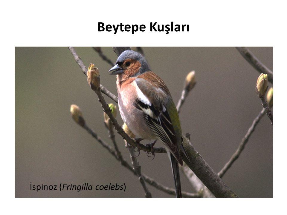 İspinoz (Fringilla coelebs) Beytepe Kuşları