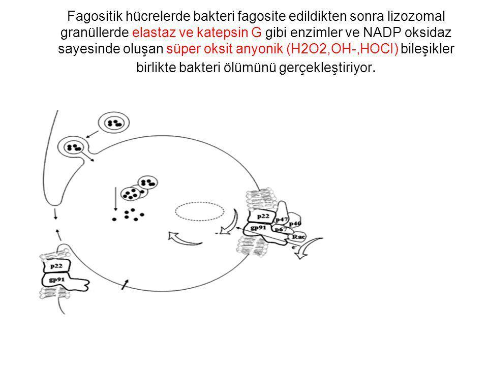 Fagositik hücrelerde bakteri fagosite edildikten sonra lizozomal granüllerde elastaz ve katepsin G gibi enzimler ve NADP oksidaz sayesinde oluşan süper oksit anyonik (H2O2,OH-,HOCI) bileşikler birlikte bakteri ölümünü gerçekleştiriyor.