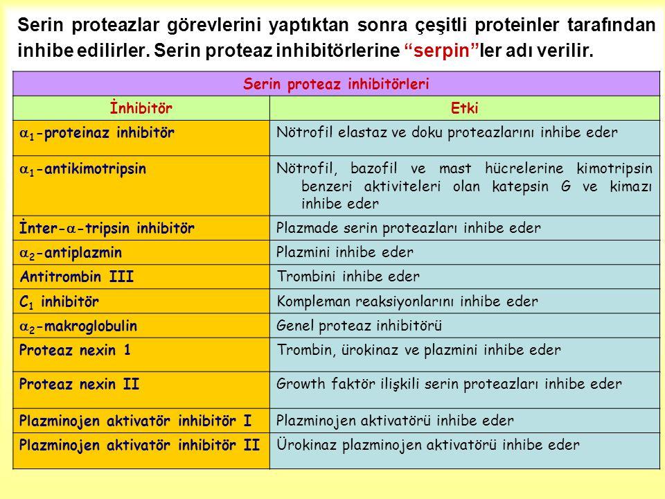 """Serin proteazlar görevlerini yaptıktan sonra çeşitli proteinler tarafından inhibe edilirler. Serin proteaz inhibitörlerine """"serpin""""ler adı verilir. Se"""