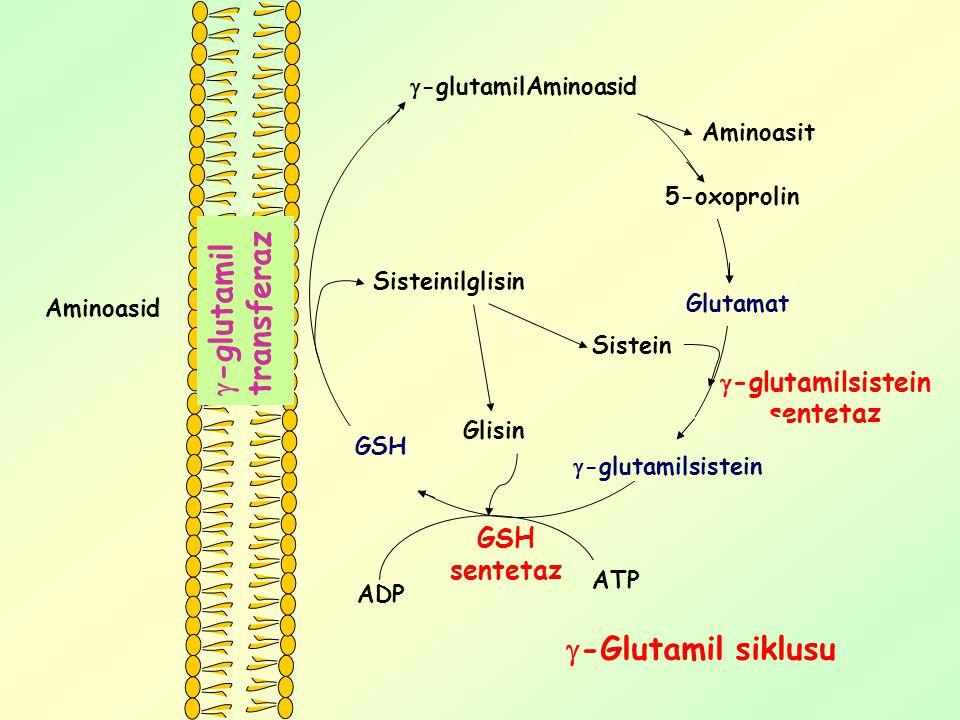 GSH sentetaz ADP  -glutamilsistein sentetaz Sisteinilglisin Aminoasid GSH  -glutamilAminoasid Aminoasit 5-oxoprolin Glutamat  -glutamilsistein Sist