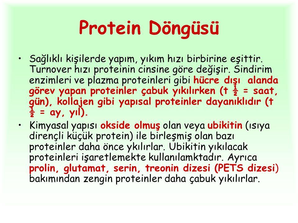 Protein Döngüsü Sağlıklı kişilerde yapım, yıkım hızı birbirine eşittir. Turnover hızı proteinin cinsine göre değişir. Sindirim enzimleri ve plazma pro