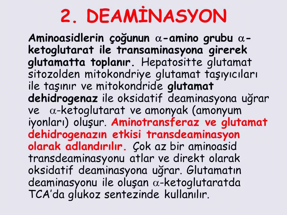 2. DEAMİNASYON Aminoasidlerin çoğunun  -amino grubu  - ketoglutarat ile transaminasyona girerek glutamatta toplanır. Hepatositte glutamat sitozolden