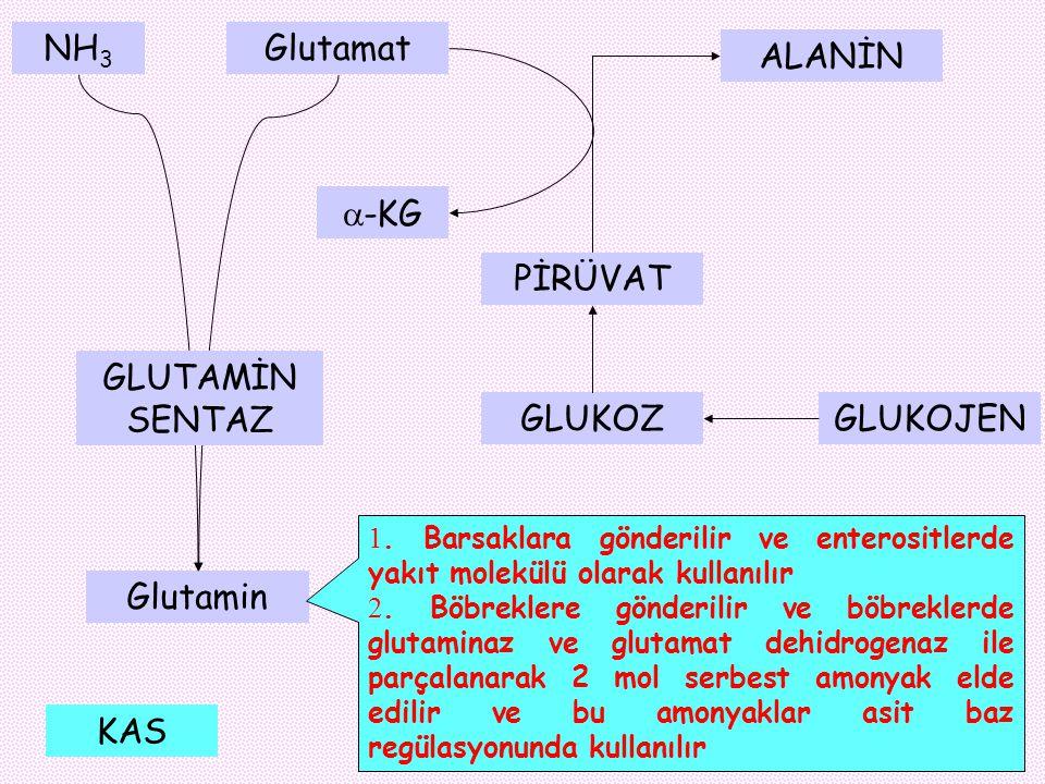 NH 3 Glutamat Glutamin GLUTAMİN SENTAZ 1. Barsaklara gönderilir ve enterositlerde yakıt molekülü olarak kullanılır 2. Böbreklere gönderilir ve böbrekl