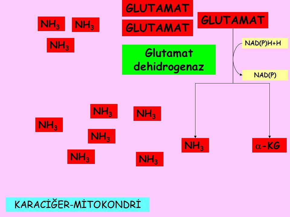 KARACİĞER-MİTOKONDRİ NH 3 GLUTAMAT NH 3  -KG Glutamat dehidrogenaz NAD(P)H+H NAD(P) NH 3 GLUTAMAT NH 3