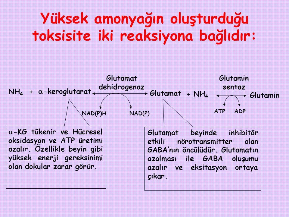 Glutamin sentaz Yüksek amonyağın oluşturduğu toksisite iki reaksiyona bağlıdır: Glutamin Glutamat dehidrogenaz NH 4 +  -keroglutarat Glutamat NAD(P)H